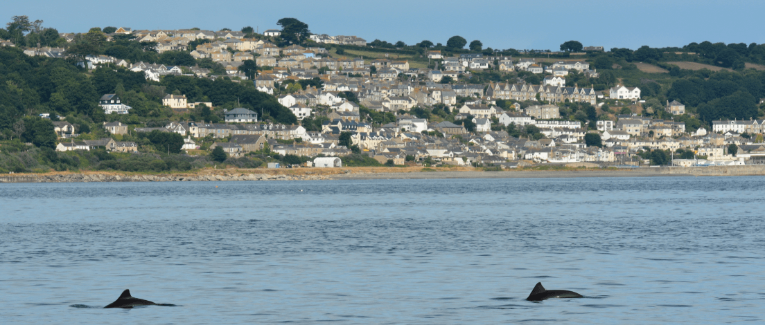 Harbour porpoises in Newyln, Cornwall (credit) Nick Tregenza.
