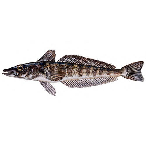 Mackerel Icefish