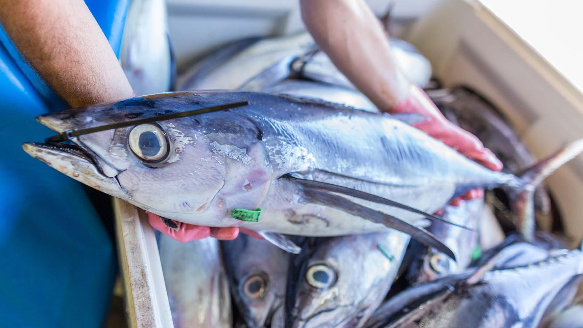 walker-seafoods-albacore-tuna