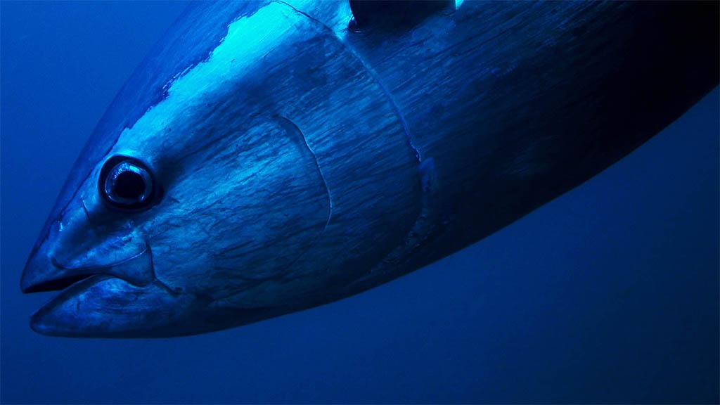 De mythes rond tonijn