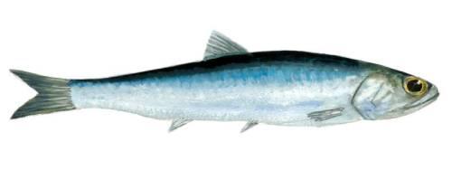 Argentine Anchovy Engraulis encrasicolus (c) Scandinavian Fishing Yearbook
