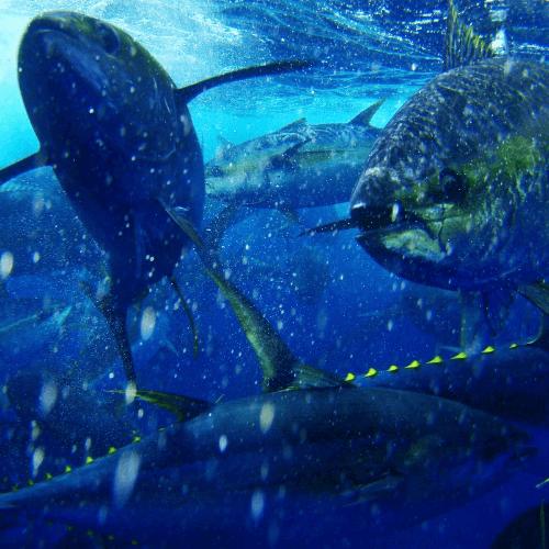 tuna-spotlight