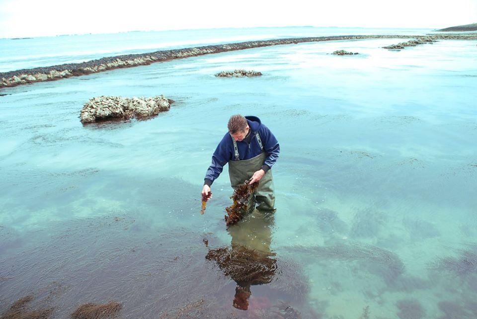 Jan Kruijsse in de Oosterschelde zeewier oogsten