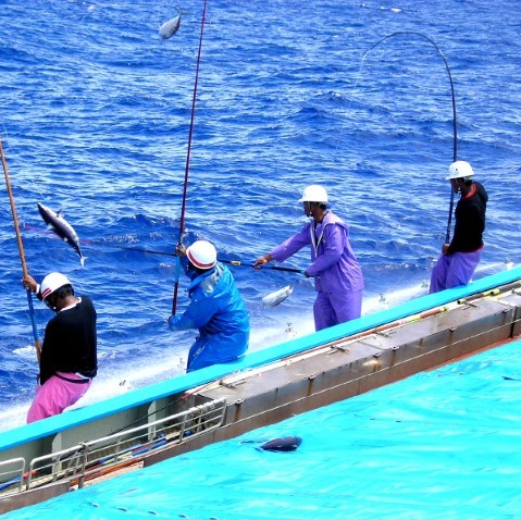 Meiho pole-and-line fishing_jpg