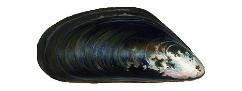 Bild einer Miesmuschel