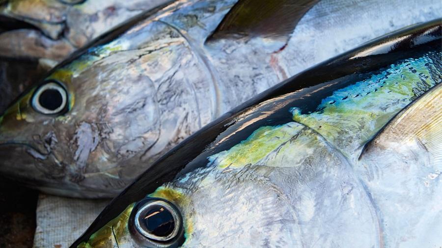 Guida al tonno sostenibile 2021