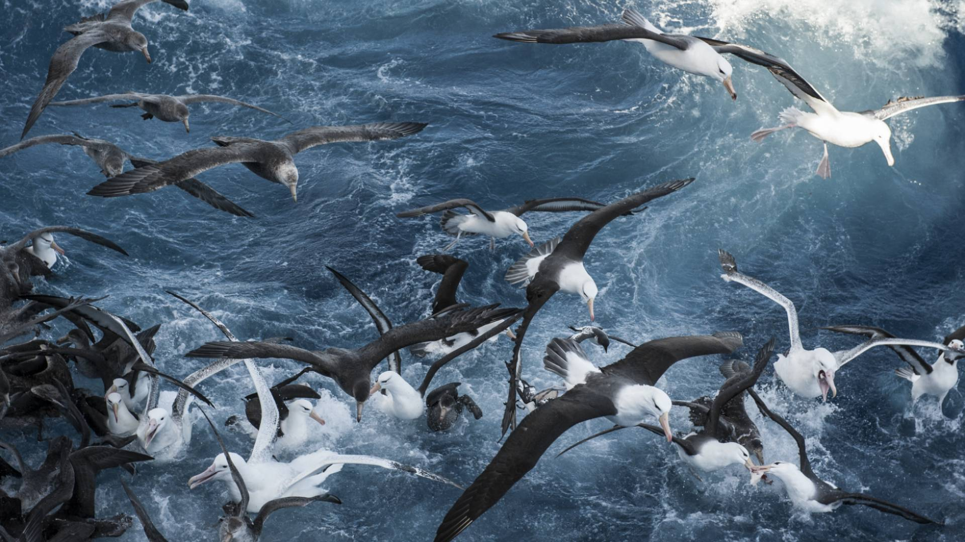 Seabird flock flying over the open ocean and diving in the water.