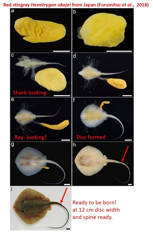 Composite of 9 images of stingray development