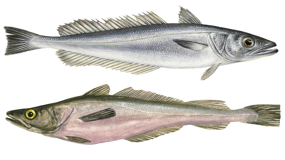 Illustrations of European and Southern hake fish