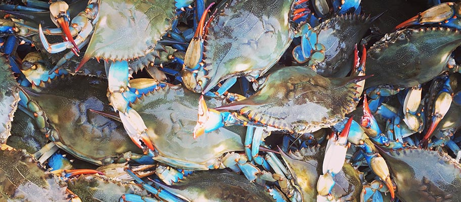 Close-up of freshly caught blue crabs