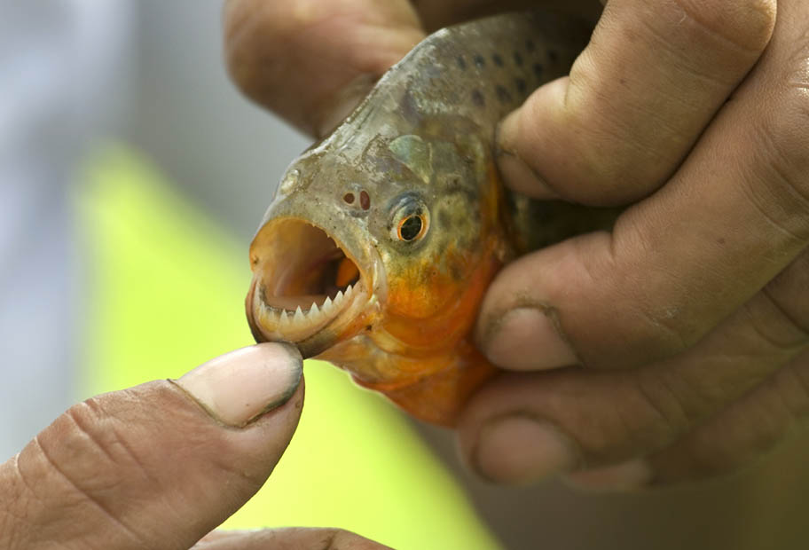 Human thumb holding open mouth of piranha held in other hand