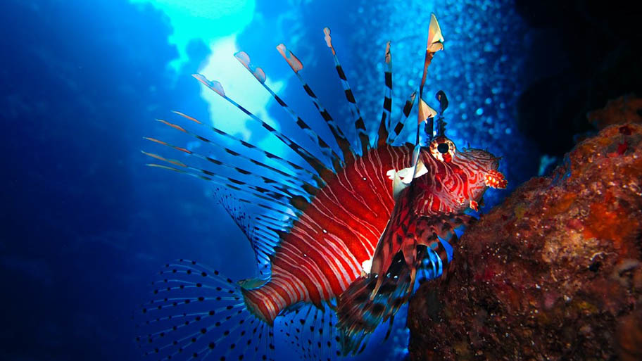 Brightly coloured coral reef fish (lionfish) underwater.