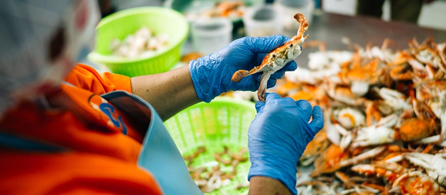 Woman in apron and protectives gloves picking meet from crab.