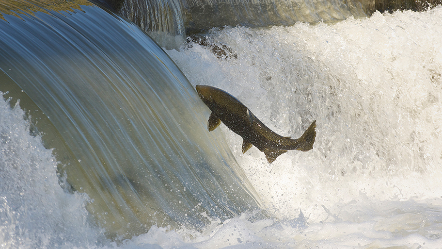 Salmon jumping in front of cascading water