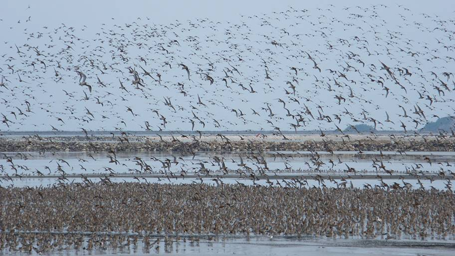 Hundreds of birds standing in an estuary with some birds flying in the sky. There are mud banks in the background.