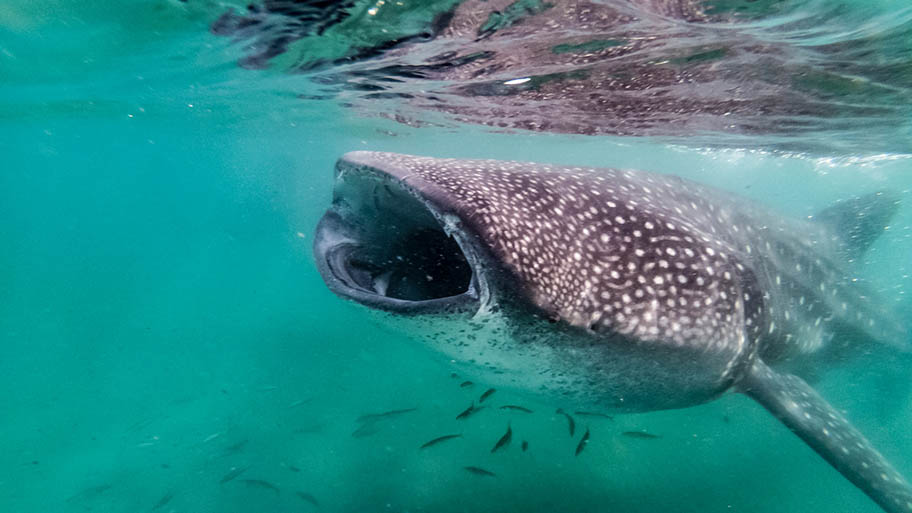 Whale shark underwater with open mouth