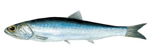 Argentine anchovy