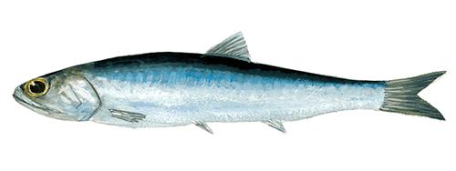 Tapas de salmorejo et anchois