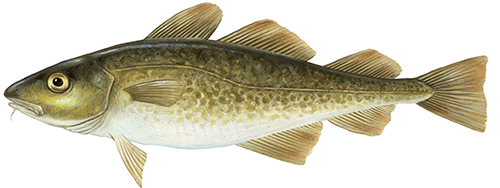 Atlantic cod illustration