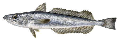 Cape hake