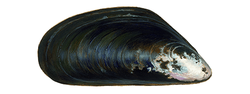 Chilean mussel