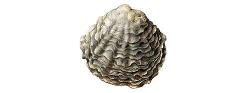 European flat oyster