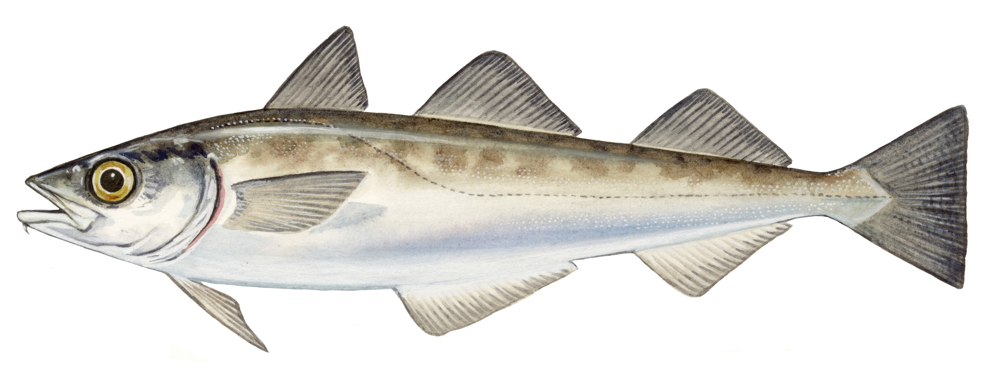 Species image of Alaska Pollock (Theragra chalcogramma) from the Fishing Yearbook