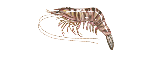 Tiger prawn illustration © Scandinavian Fishing Year Book
