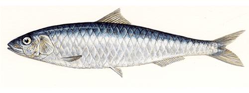 Sardines in masala