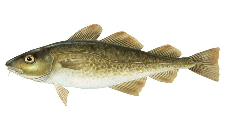 Illustration of Gadus Morhua (Atlantic Cod)
