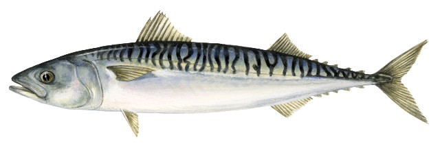 Illustration of a mackerel fish  (Scomber scrombrus)