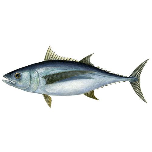 Albacore tuna illustration