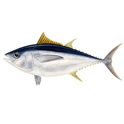 Bigeye tuna illustration