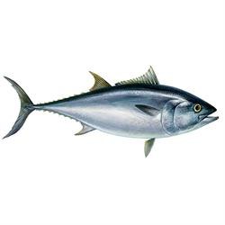 Atlantic Bluefin tuna illustration