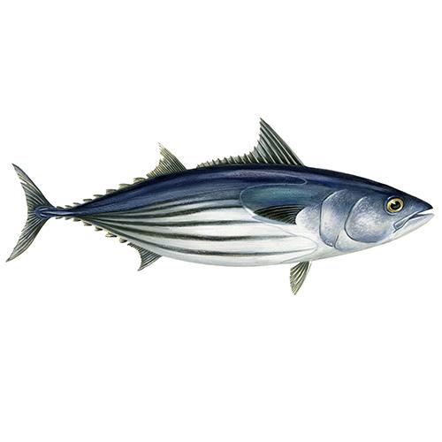 Skipjana tuna illustration
