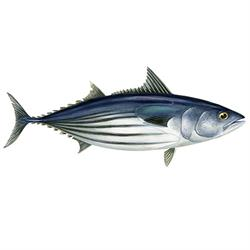 Skipjana tuna illustration