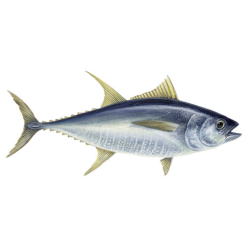 Yellowfin tuna fish illustration