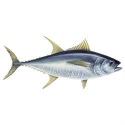 Yellowfin tuna fish illustration