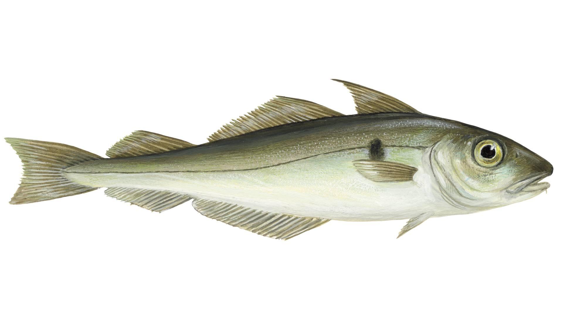 illustration of a Melanogrammus Aeglefinus - Haddock