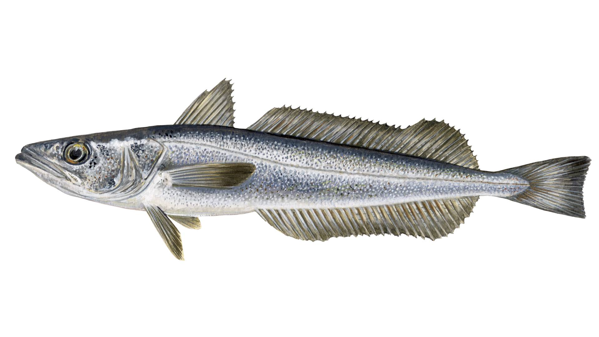 Illustration of Merluccius capensis - Shallow Water Cape Hake