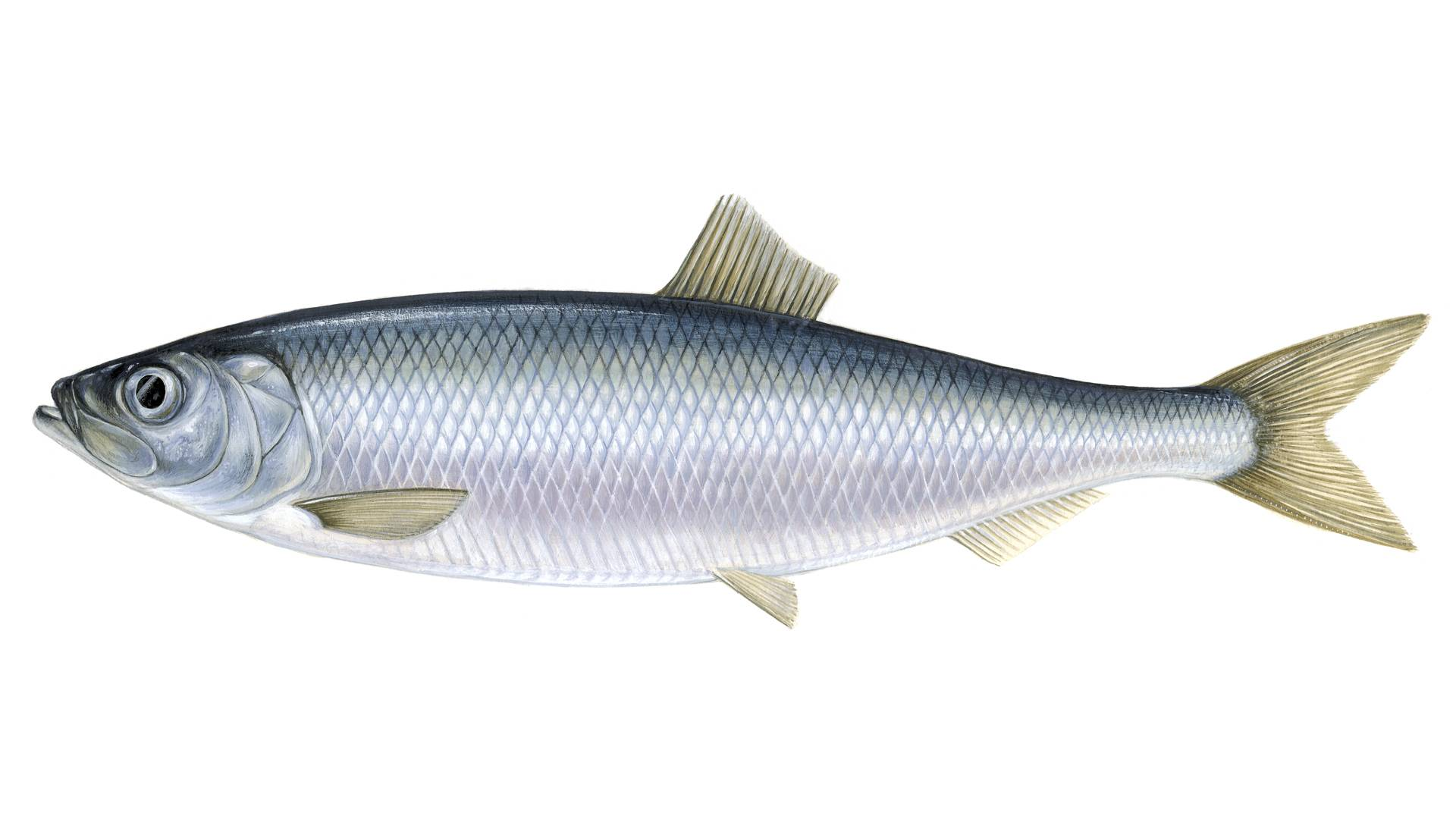 A herring fish