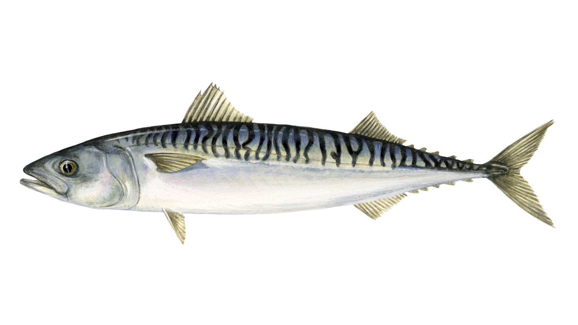 What is mackerel| Sustainable fish | Marine Stewardship Council