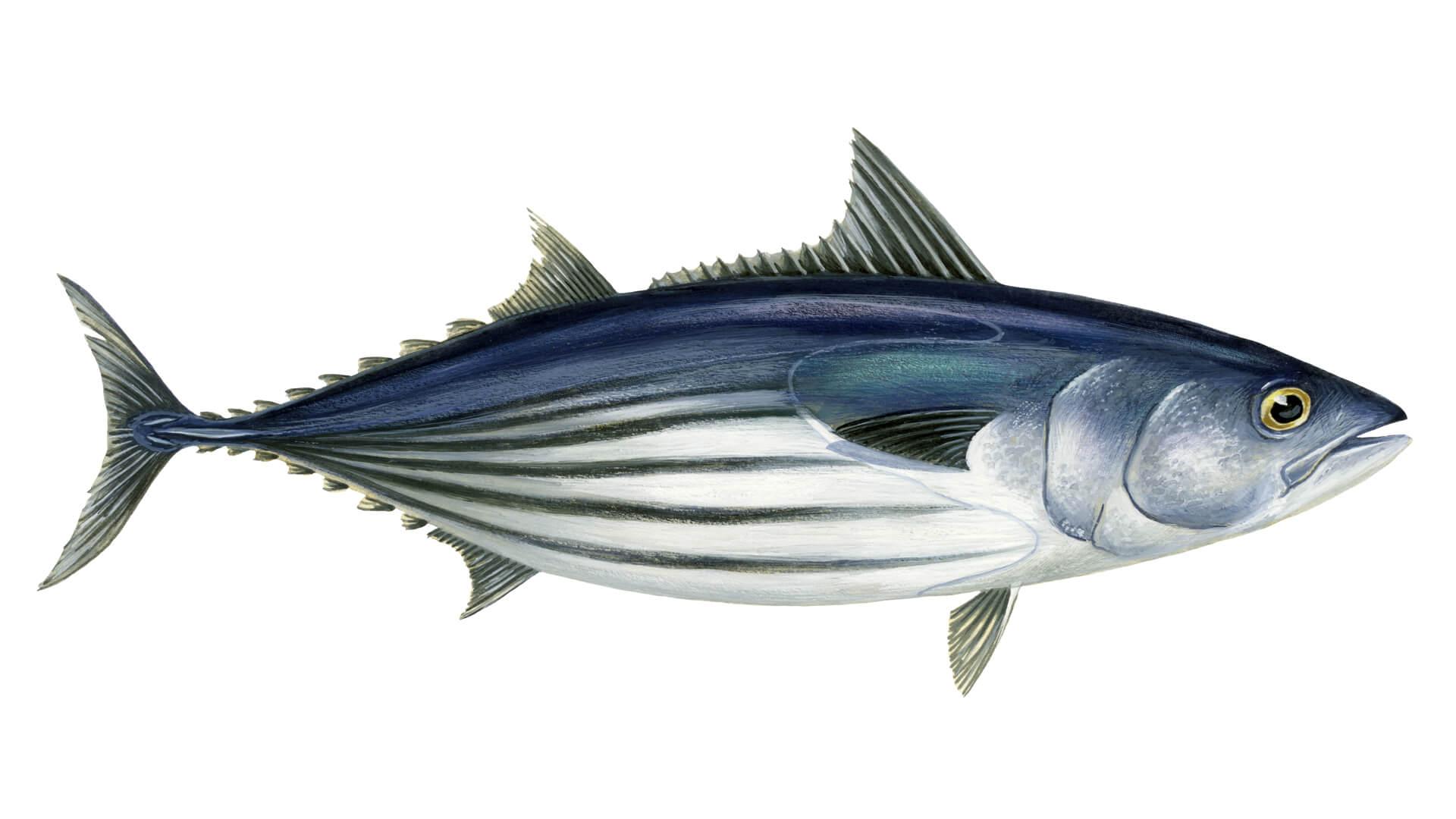Illustration of Katsuwonus Pelamis - skipjack tuna