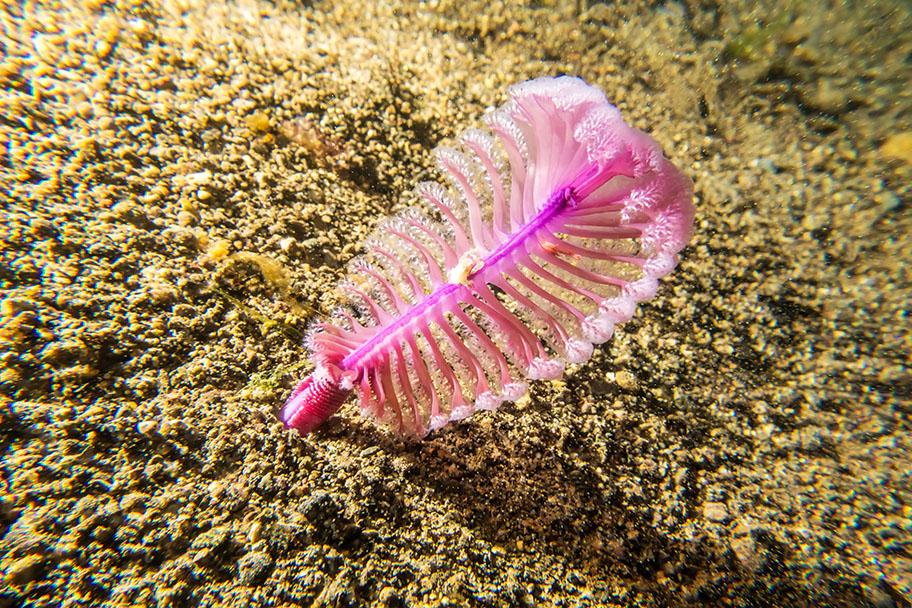 Sea pen underwateron sandy sea bed