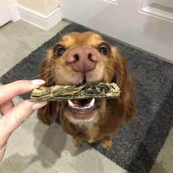 Close-up of human fingers holding long treat in dog's mouth. Dog looking at camera.