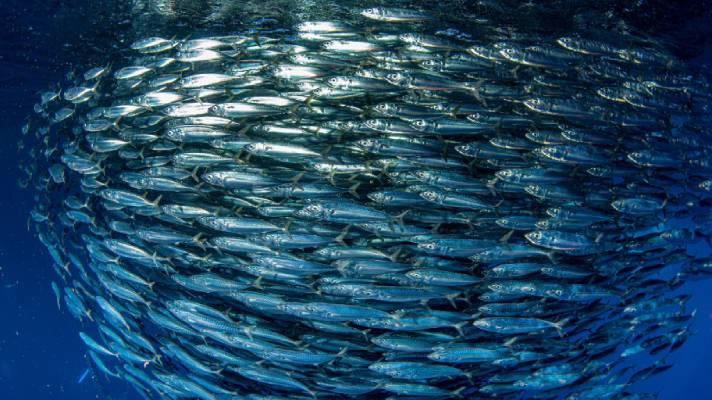 School of small pelagic fish