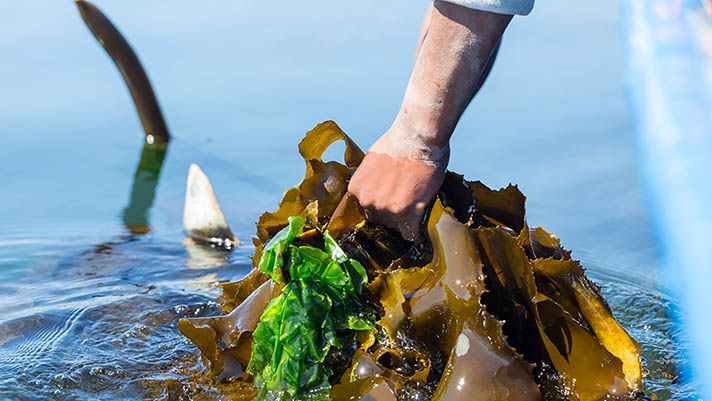 Hand pulling kelp from water