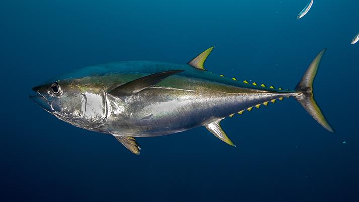 Stock photo of yellowfin tuna underwater