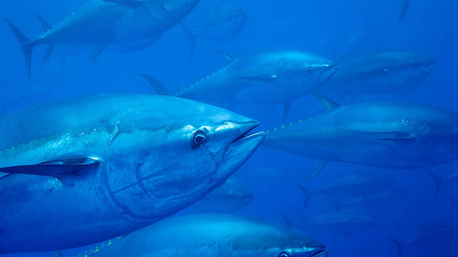 Bluefin tuna head close-up with other tuna swimming behind