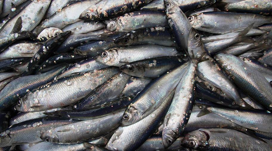 Close-up of pile of herring freshly landed